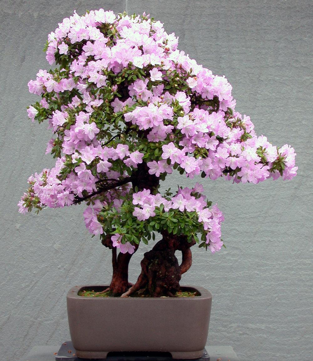 Azalea bonsai (5).jpg