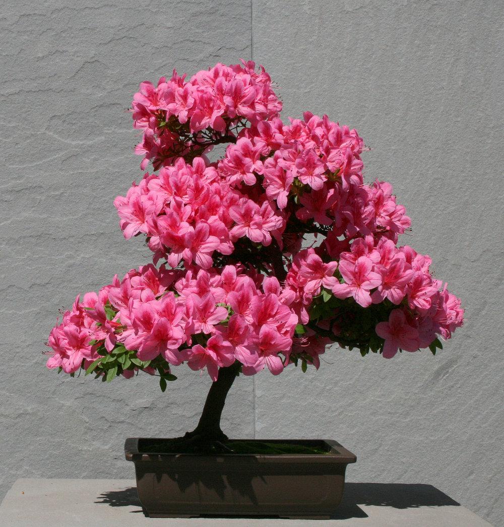 Azalea bonsai (6).jpg