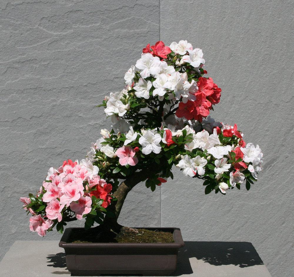 Azalea bonsai (9).jpg