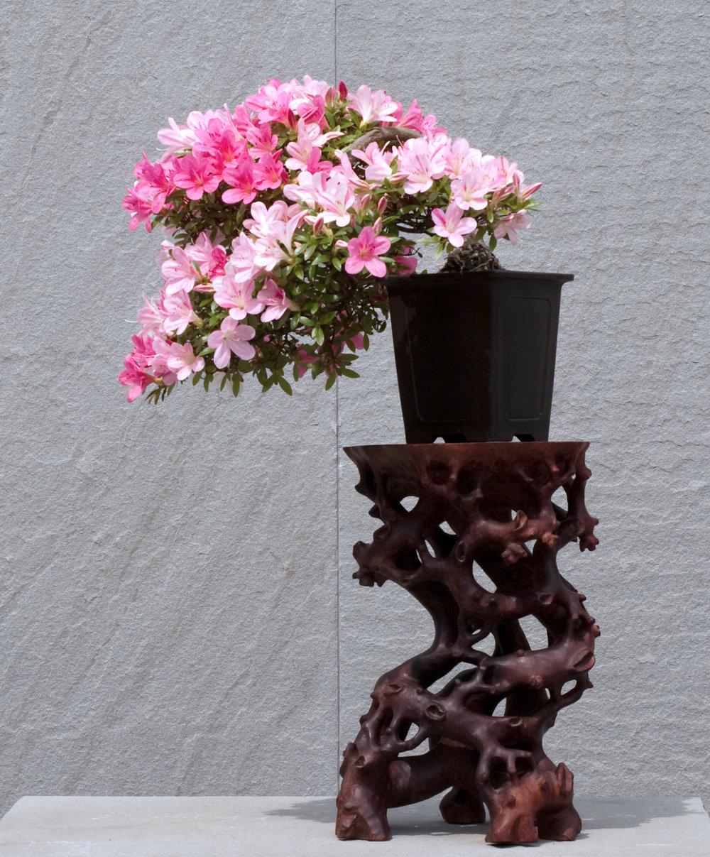 Azalea bonsai (8).jpg