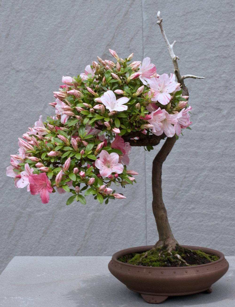 Azalea bonsai (11).jpg
