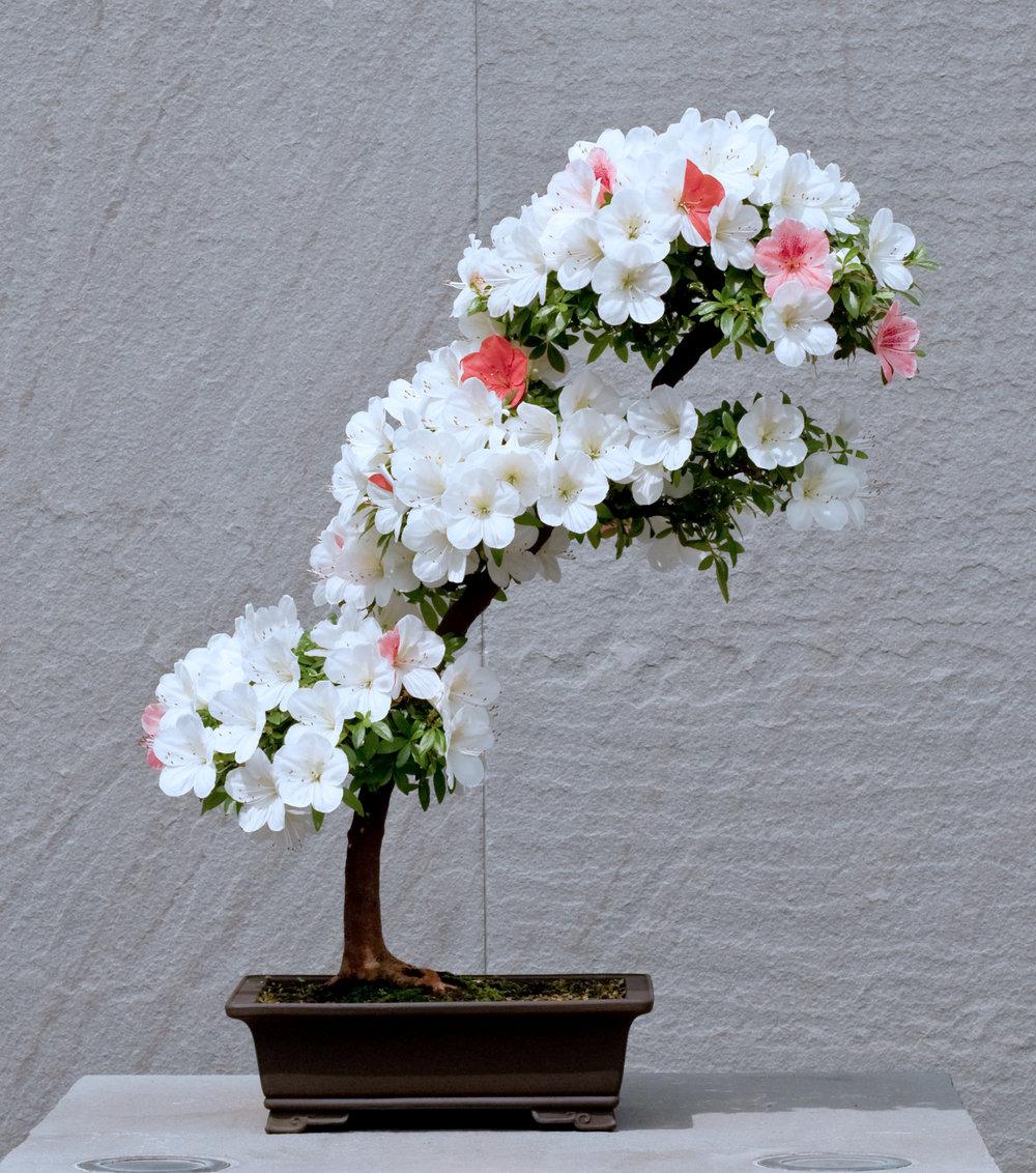 Azalea bonsai (12).jpg