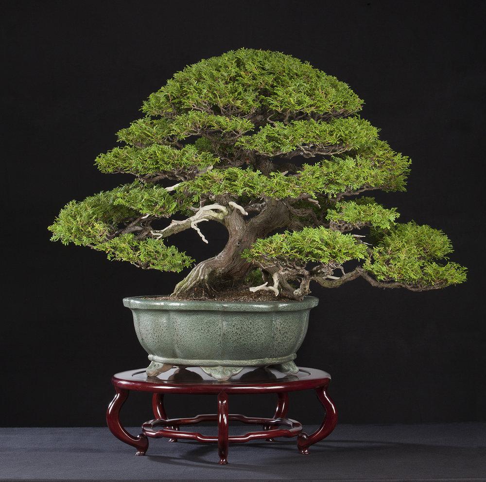 Hinoki-cypress