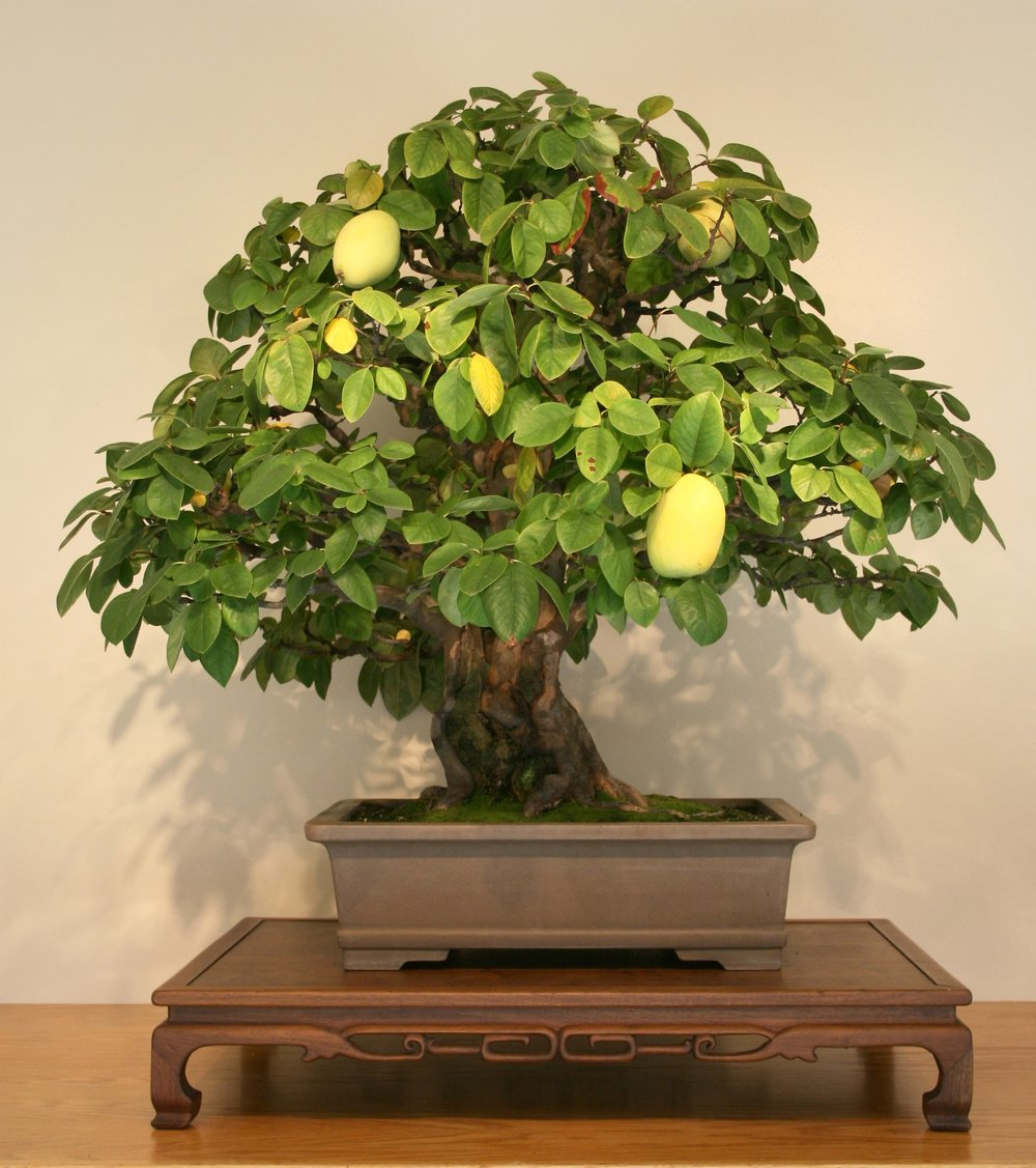 Chinese-quince