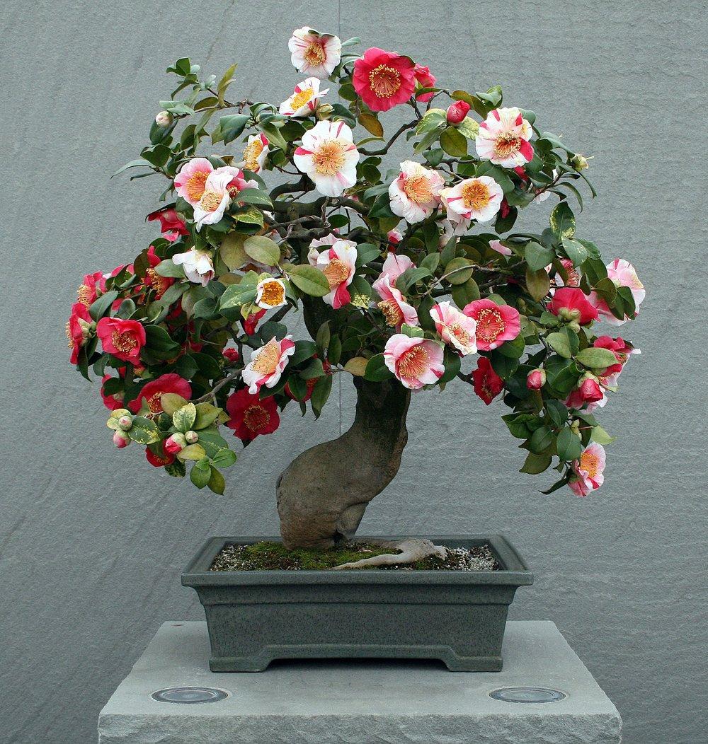 Higo camellia