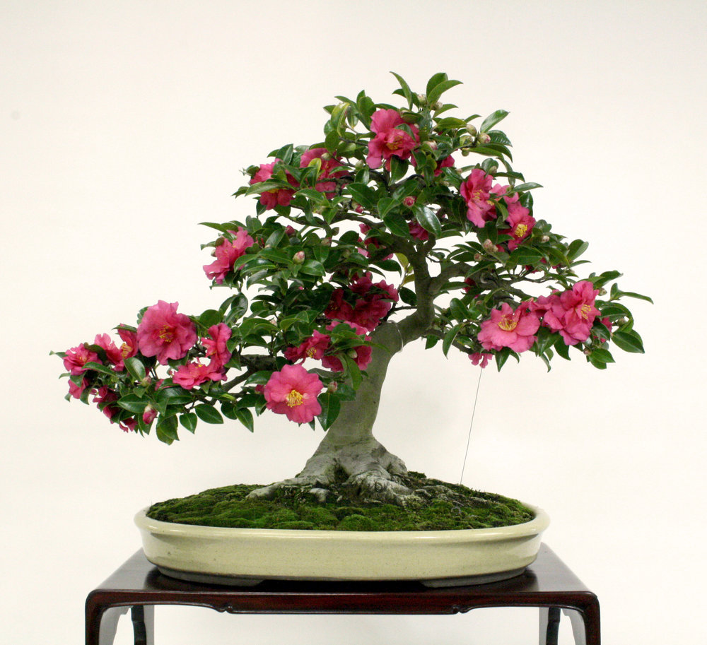 Camellia  x  hiemalis  'Shishigashira'  In training since 1950  Gift of Susumu Nakamura, 2000  The small leaves and flowers of this dwarf camellia make it excellent material for bonsai. Its semi-double pink blossoms usually appear in November.