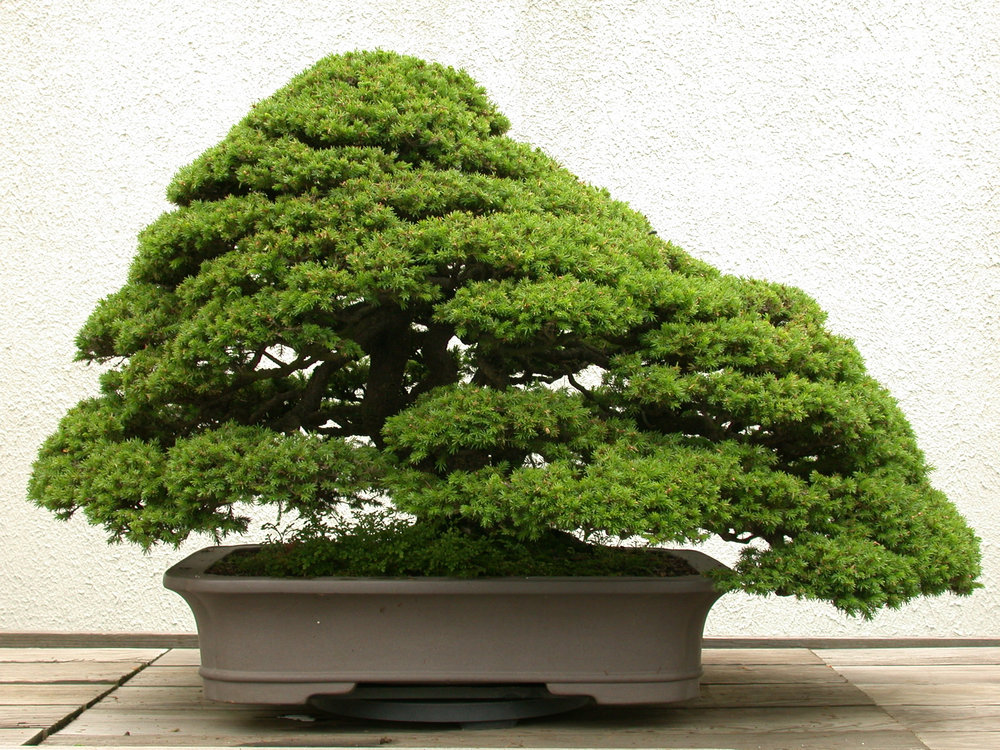 Red Ezo spruce