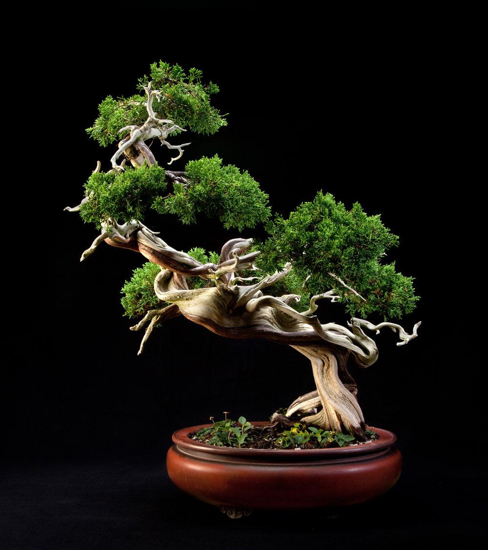 Sargent juniper