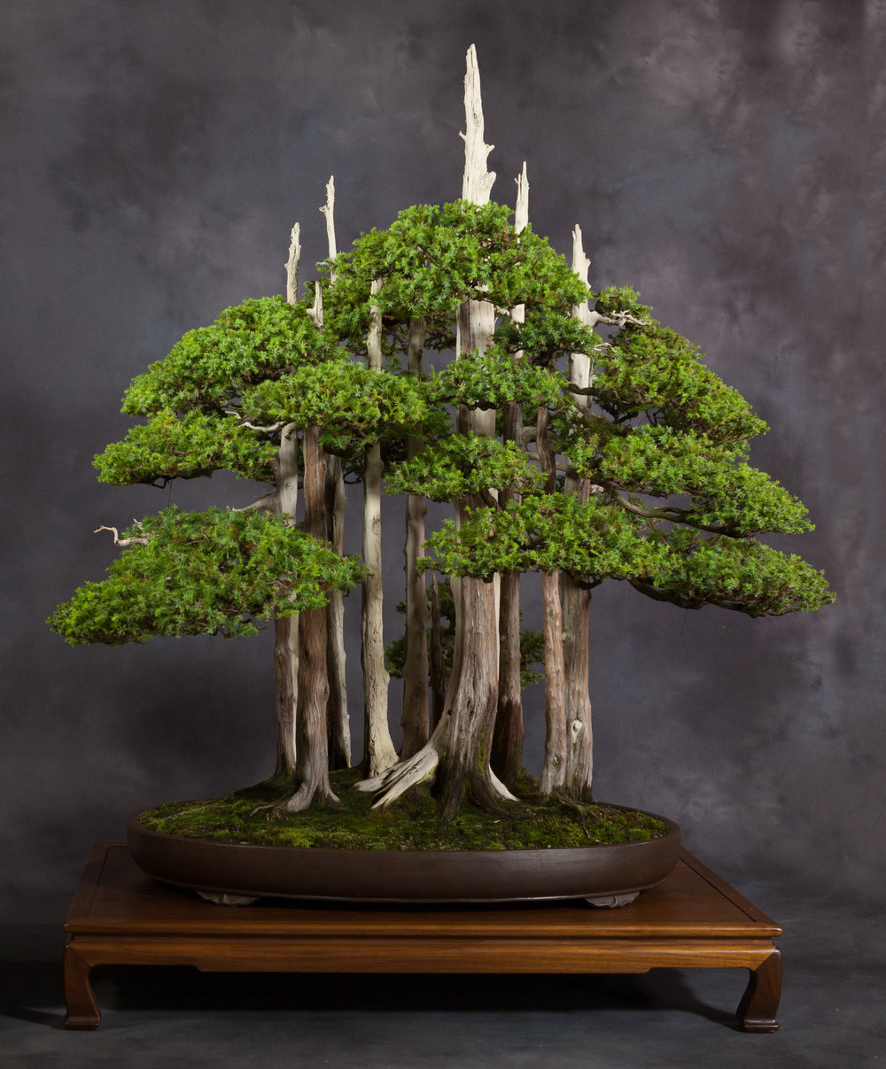 """Goshin"" Chinese Juniper Forest"