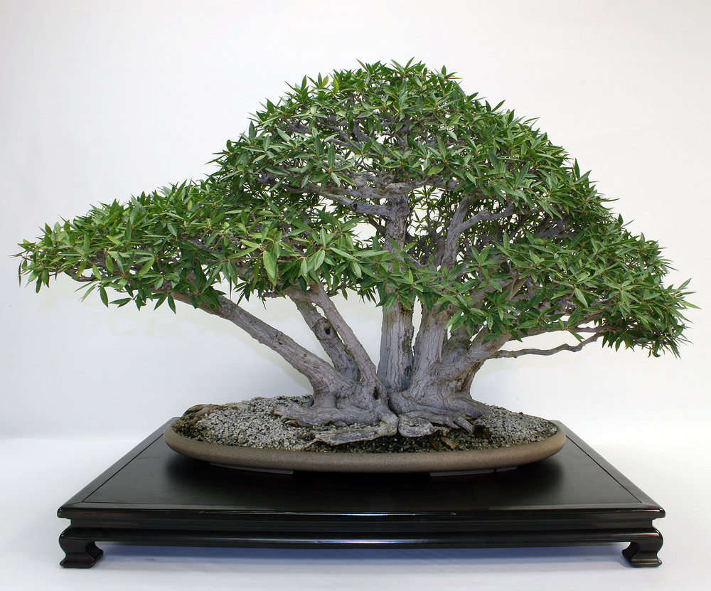 Willow-leaf Ficus