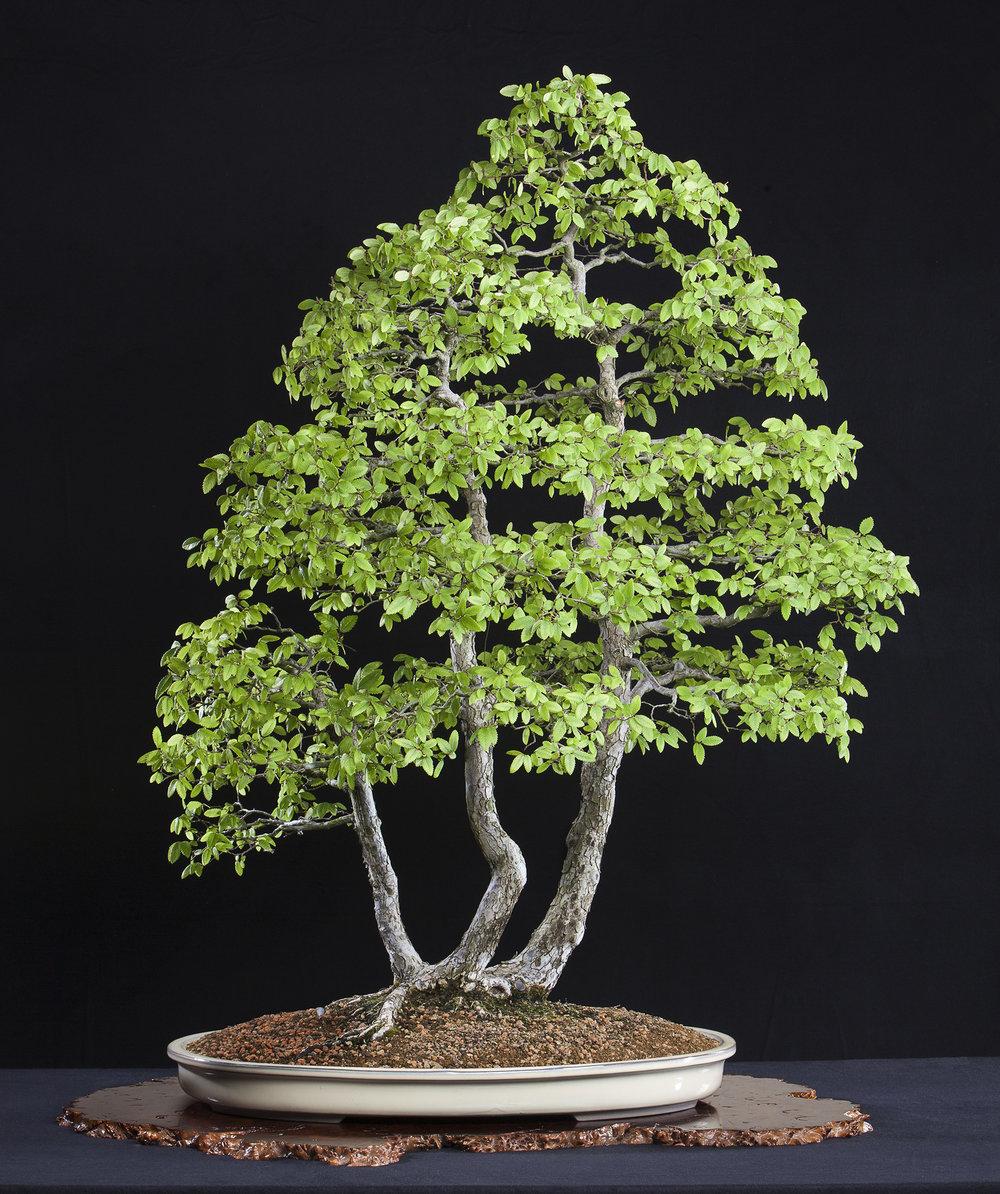 Cedar Elm