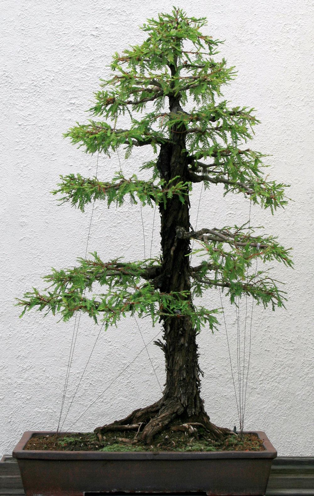 Montezuma-cypress