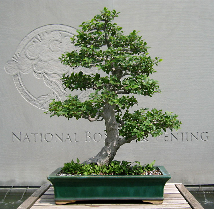 Chinese Hackberry