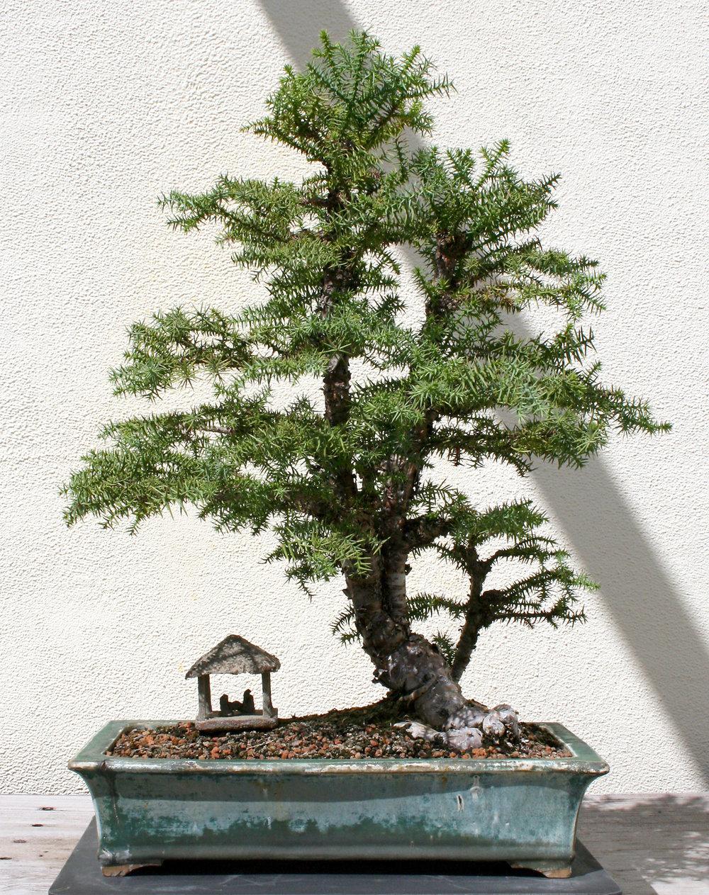 Taiwan-cypress