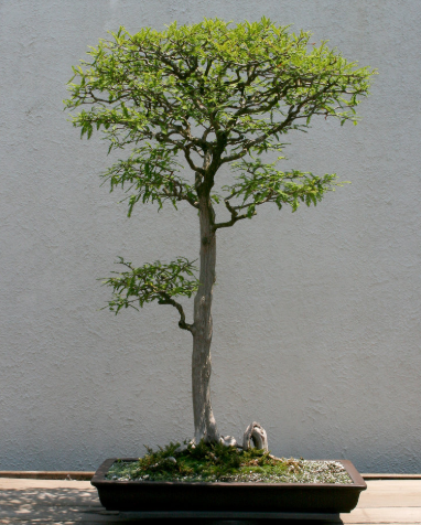 Historical Tree Spotlight Bald Cypress National Bonsai Foundation