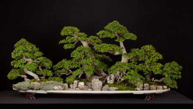 Species Spotlight Chinese Elm Ulmus Parvifolia National Bonsai Foundation