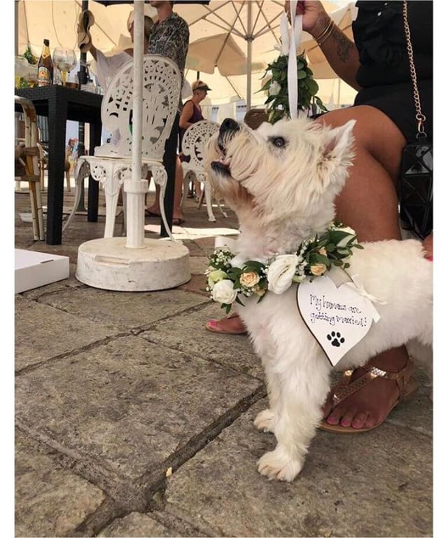 Renowned as the premium wedding florist on the coast and now established for over a decade, Flor Valentin will provide the finest flowers for ALL of your wedding guests 🤵👰💐🐶 #especiallypooches #decadeofdelectableflowers . . . . . #weddinginspo #bridal #confetimagazine #marbella #weddingsspain #mr #mrs #bridal #bridetobe #bridalinspiration #wedding #planyourwedding #weddingsday #destinationwedding #morningbride #weddingstyle #flowers