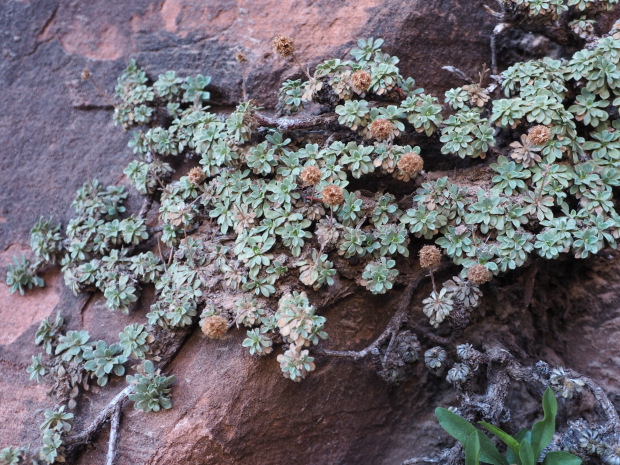 Rock spiraea clinging to the cliff walls at Zion