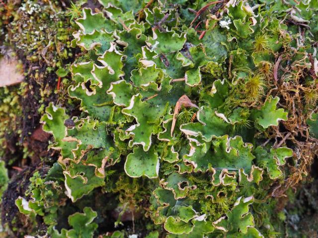 Some sort of liverwort?