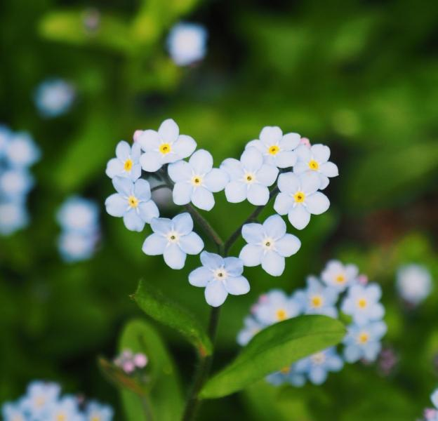 Forget-me-nots!