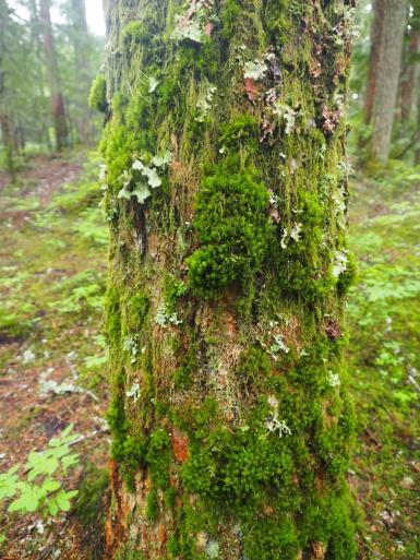 Moss on a tree trunk in the Whistler Interpretive Forest.