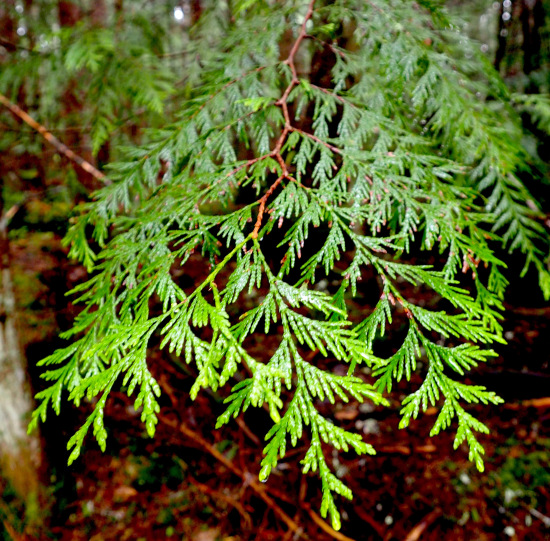 The light-tipped leaves of the western redcedar.
