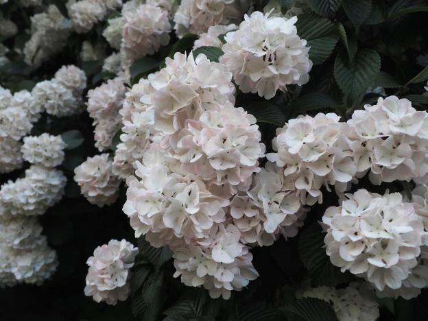 These kind of look like hydrangeas and kind of don't. What are they?