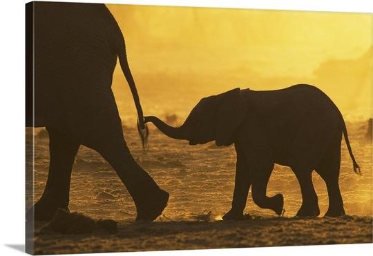 elephant-loxodonta-africana-calf-holding-mothers-tail-khaudom-reserve-namibia,1060729