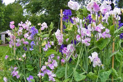 Sweet pea spring flower.jpg