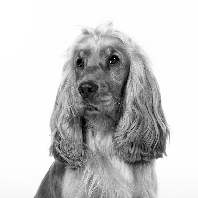 Now that's what I call a show dog.  #jigsawphotographyuk #suttoncoldfield#portraitphotography #canoneos5D #petphotography #pet #cockaspaniel