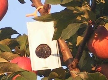 Pheromone dispenser in apple tree.