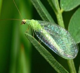 Lacewing (adult) eat aphids.