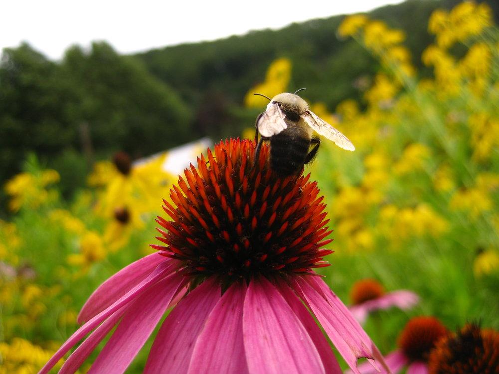 Bumble bee aka a wild pollinator!