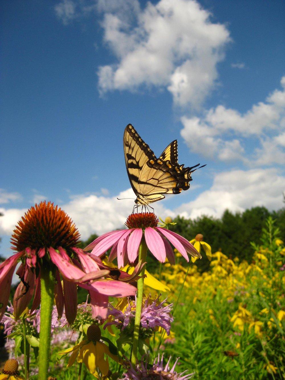 Butterflies flourish.