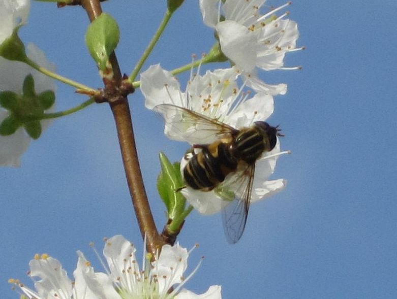 Solitary bees pollinate.