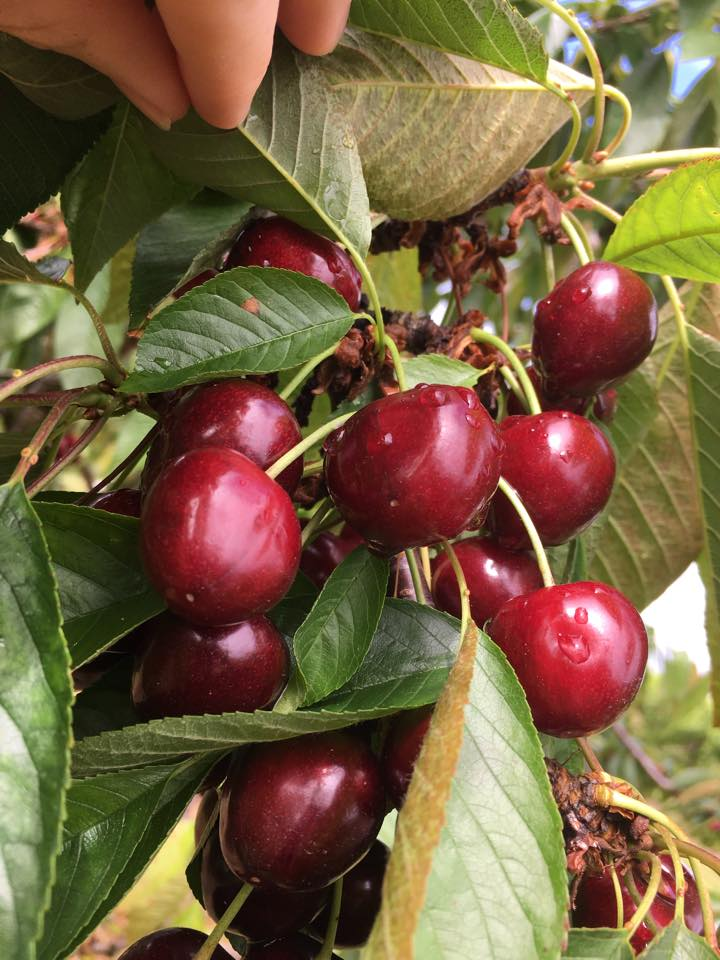 Sweet Dark Cherries - Our sweet dark cherries are great for eating fresh, freezing, and canning. Sweet cherries have shown to be high in anthocyanins, compounds that help prevent cancer. Sweet cherries have many other health benefits that you can read about here.