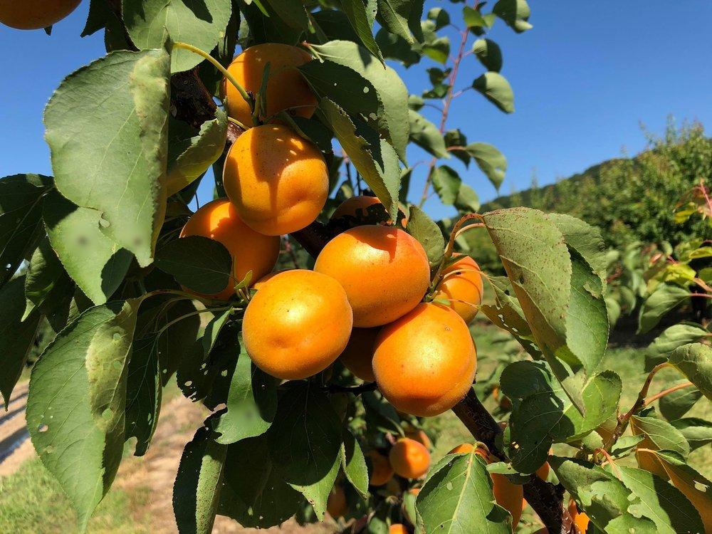 apricot s.jpg