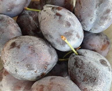 Prune Plums - These blue skinned and yellow fleshed plums have a sweet firm flesh. They are a favorite for eating fresh, cooking, baking, canning, jams, and jellies.  Think Plum Pie. Yum.