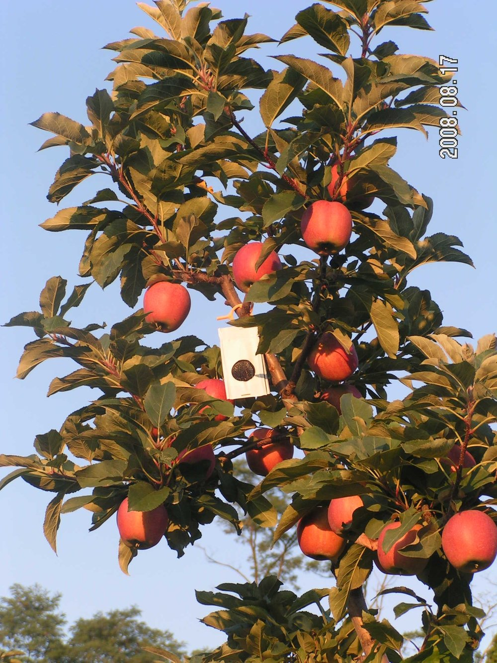 """""""Flag Style"""" pheremone dispenser in apple tree."""