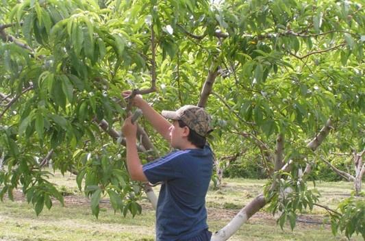 Applying pheromone dispensers for the Peach Tree Borer to peach trees.