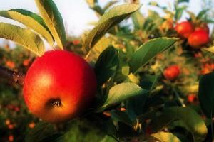 Apples-300x200.jpg
