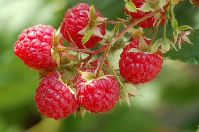 red-raspberries-636