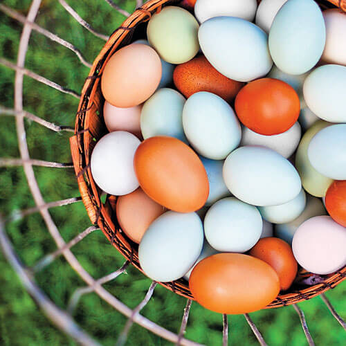 chicken-eggs-in-basket-x