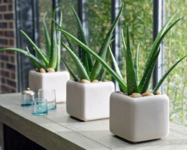 Aloe - Aloe is the ultimate multi-tasker of the houseplants! Its gel soothes skin and helps to heal cuts or burns, and the plant helps to remove carbon dioxide from the air and increase oxygen. Go Aloe! It grows best in bright, indirect light.