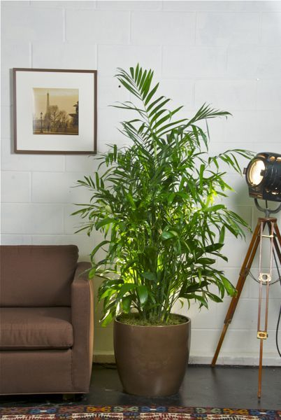 Bamboo Palm - Looking to add a plant that will add to your tropical vibe? Bamboo Palms are an awesome way to achieve a tropical feel in any living space. They do well with bright light, but can also live in low lit areas as long as they receive enough water. These palms are non toxic to pets and they are great for air purification!