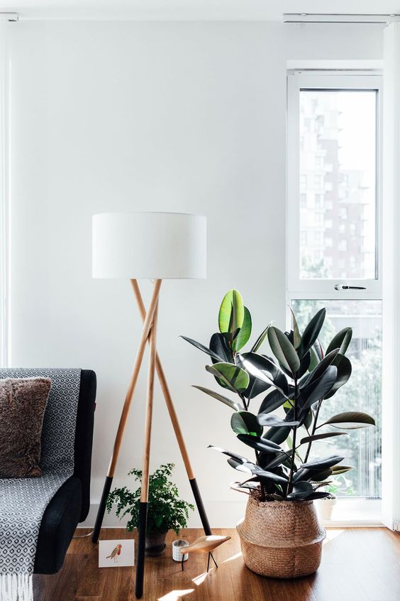 Rubber Tree - Rubber trees THRIVE in low lit areas and cooler climates, so they are perfect for those places in your home that could use a plant, but don't receive bright light. Rubber trees are known for their ability to remove toxins and their low maintenance nature.
