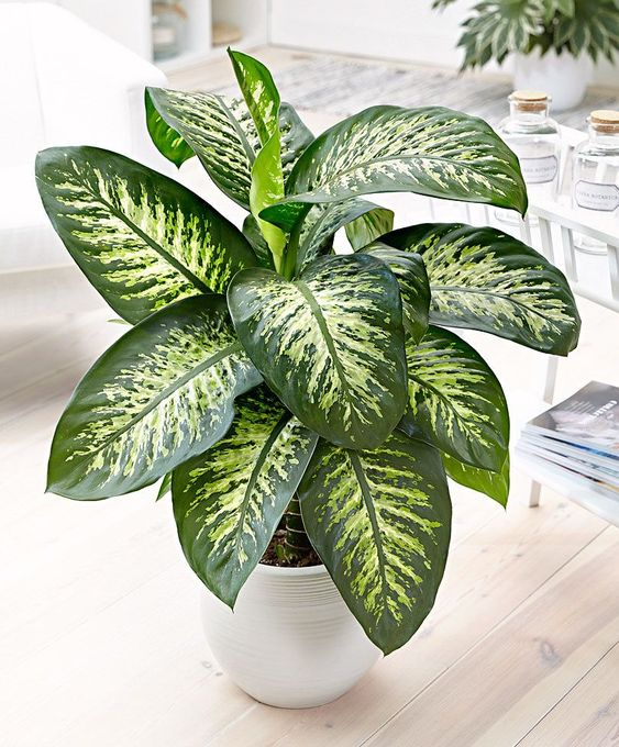 Dieffenbachia - This plant has large, beautiful leaves and can grow up to 4 feet tall! The Dieffenbachia plant is a low-light plant that purifies the air and looks great in your home.