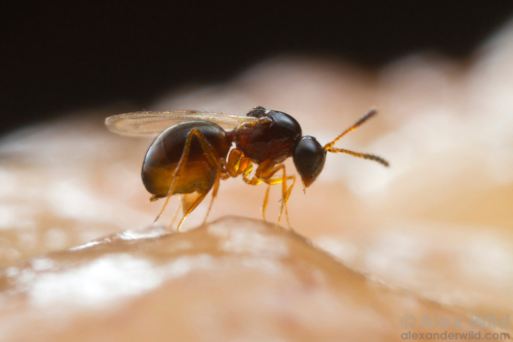 Parasitoid wasp infecting Drosophila larva by Alex Wild