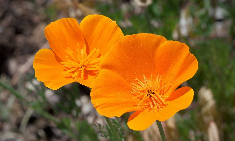 California poppy California based nonprofit consulting