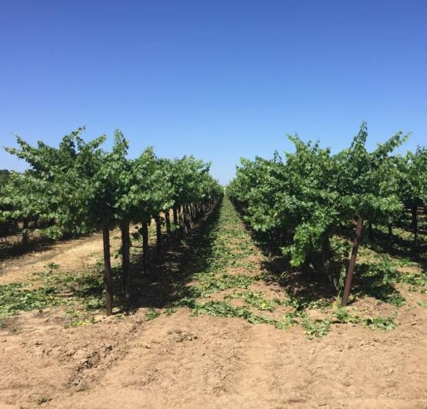 Shoot thinning of Cabernet Sauvignon in Lodi, CA on June 5, 2018